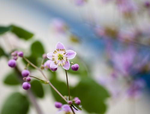 Sidewalk Light Purple Blossums 2 of 3