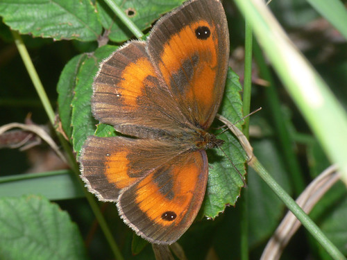 Gatekeeper (Pyronia tithonus), m.