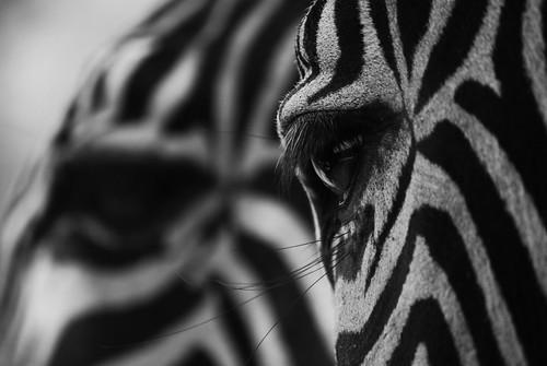 Cebras de Grey by Nus89