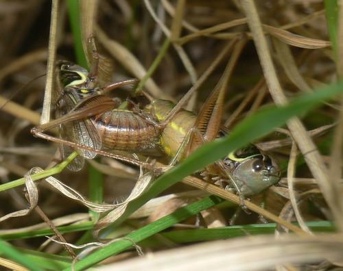 Roesel's bush-crickets (Metrioptera roeseli)