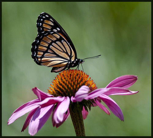 Monarch on cone flower 1