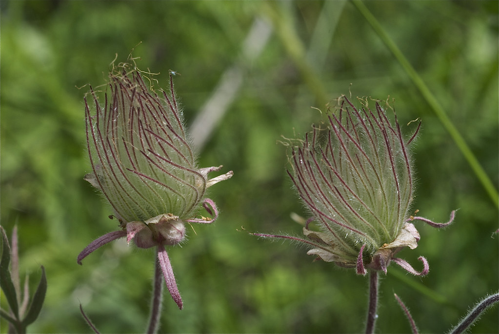 Prairie Smoke seed heads