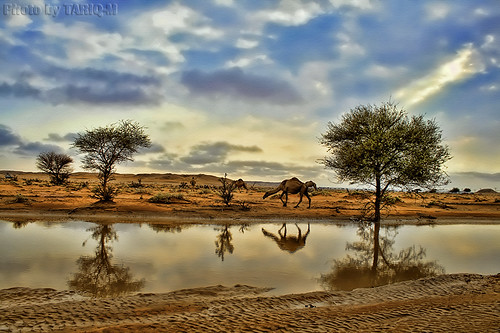 Reflection of Camel HDR by TARIQ-M
