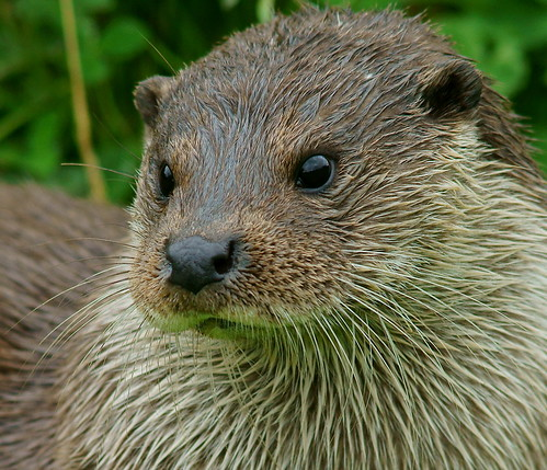 closeup of a river otter's face. Her fur is damp and clinging together in spikes. She has the sweetest plump whisker pads.