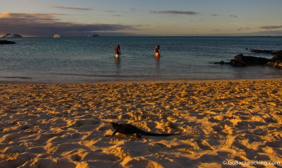 A Marine Iguana on Bachas Beach