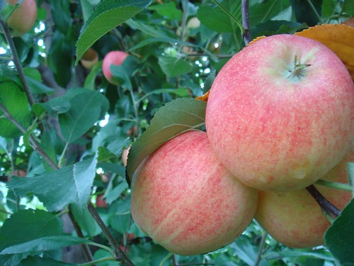 Gala Apples ready for picking