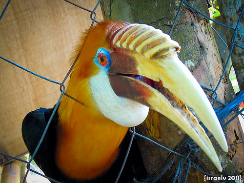 Smiling Hornbill by israelv
