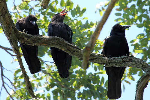 Three American Crows