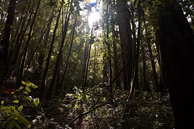 Big Basin Sun Through Trees