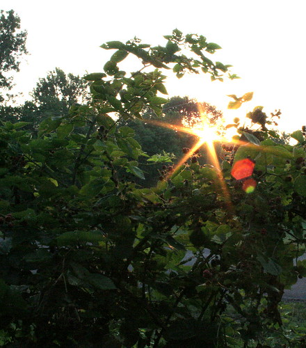 Sunrise in the Berry Patch