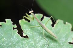 金沢自然公園のコカマキリ(Mantis, Kanazawa Nature Park)
