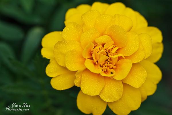 A marigold blossom hosts a visitor.