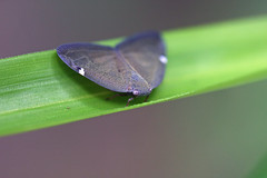 金沢自然公園のアミガサハゴロモ(Insect, Kanazawa Nature Park)