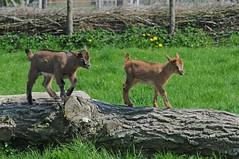Juan-Fernández-Ziegen im Haustierpark Werdum