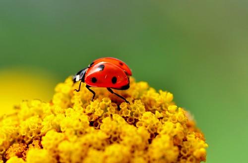 Memories of Summer (pallab seth) macro bokeh ngc insects ladybugs ladybirds gettyimages ladybeetles coccinellidae coccinellaseptempunctata ahqmacro wonderfulworldofmacro tamronaf90mmf28dispam11macrolens nikond3100 thesevenspotladybird