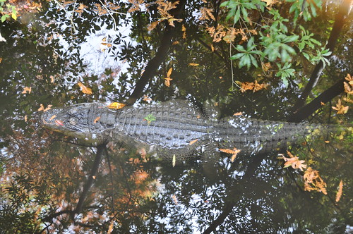 NC Zoo - Alligator (4)