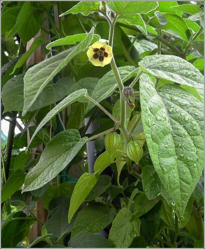 110702 Physalis in my garden