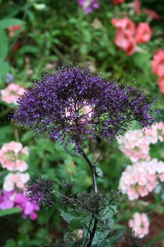New flower-Throatwort