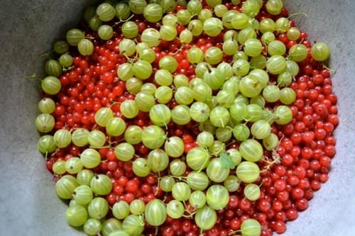 Redcurrants and gooseberries