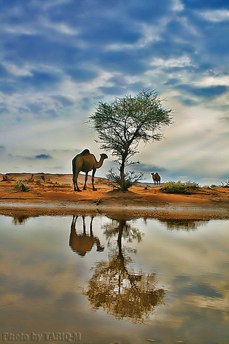 Reflection of Camel by TARIQ-M
