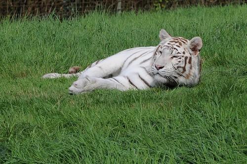 Weißer Tiger  im Tierpark CERZA bei Lisieux in der Normandie