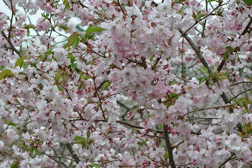 Auckland's cherry blossoms 1