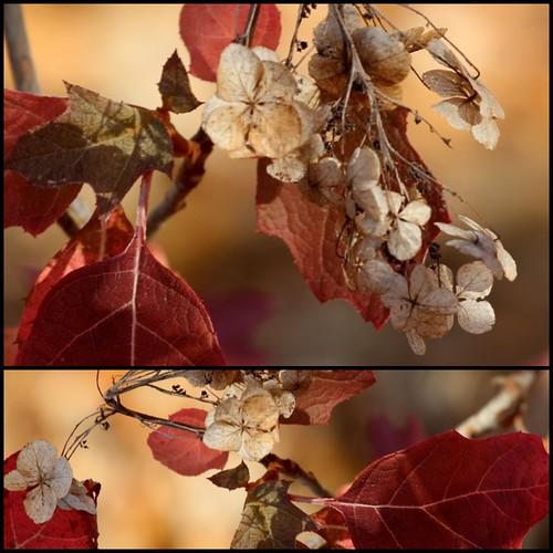 Oakleaf Hydrangea in the Fall by sslyb
