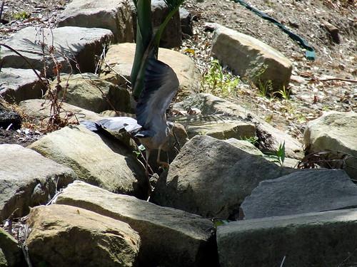 Heron 1 Got it