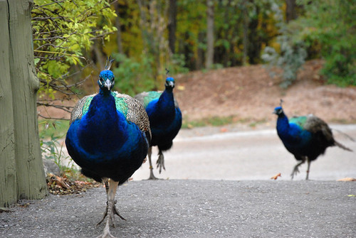 peacocks walking together on the zoo grounds