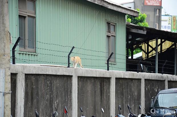如走鋼索的貓咪03.jpg