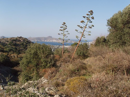 201111120047_giant-aloes