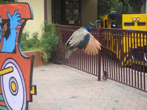 Casa de Fruta peacock
