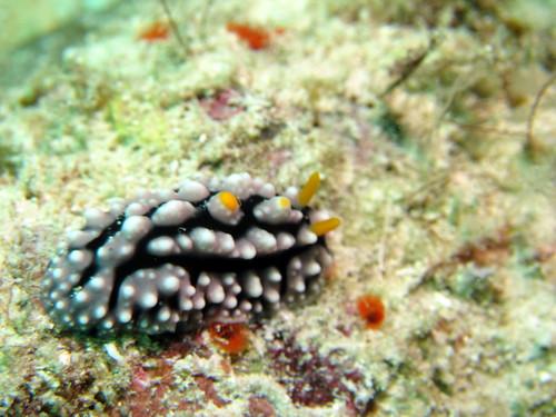 ツノキイボウミウシ (Phyllidia elegans)