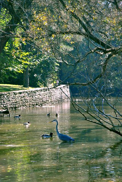 highpark pond - heron