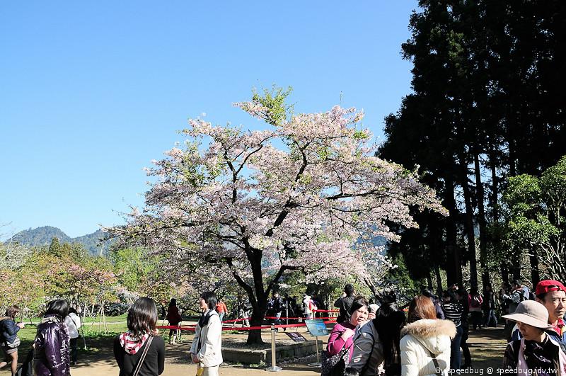 阿里山櫻花季65