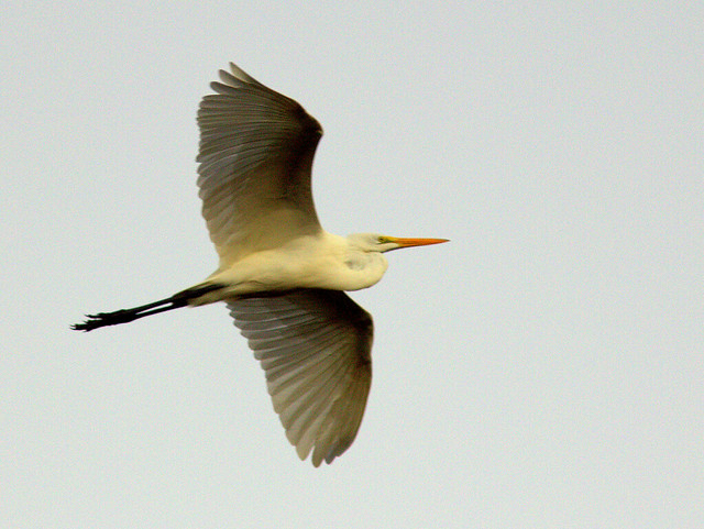 Great Egret in flight 20111103