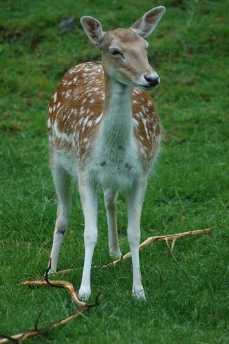 Vietnam-Sikahitsch im Tierpark CERZA bei Lisieux in der Normandie