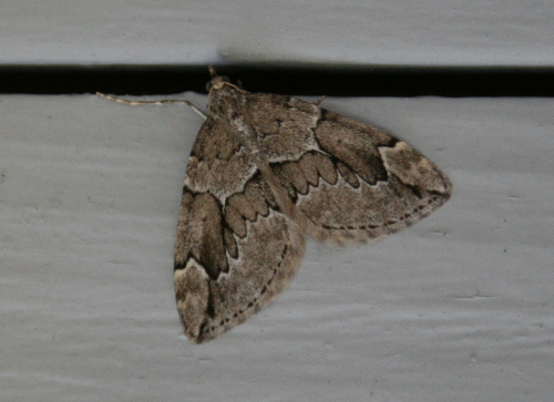 38-7217 - Thera juniperata - Juniper Carpet