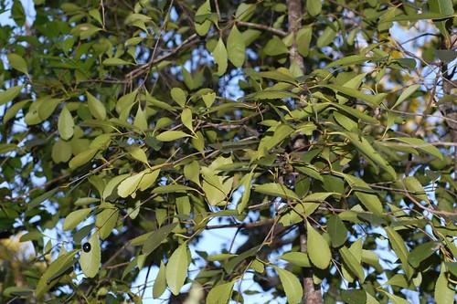 Elaeodendron melanocarpum