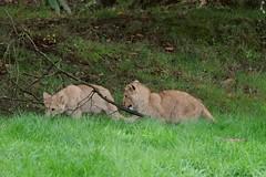 Afrikanische Löwejungtiere im Tierpark CERZA in der Normandie