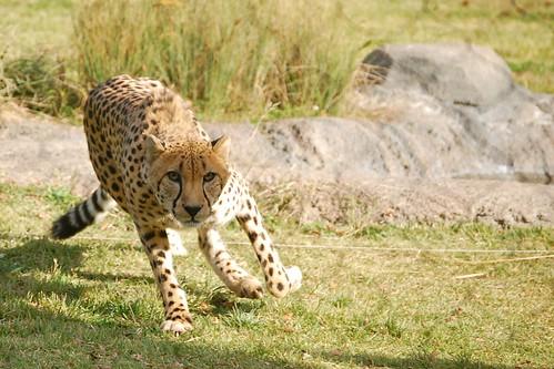 Bonus Cheetah