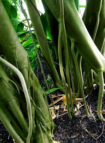 banyan tree at Kew gardens