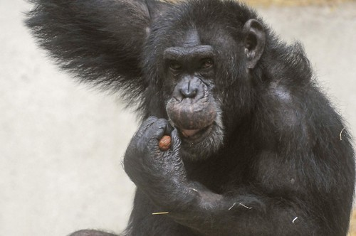Schimpanse Sam im Parc zoologique de Champrepus