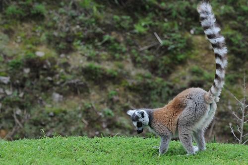 Katta im Parc zoologique de Champrepus