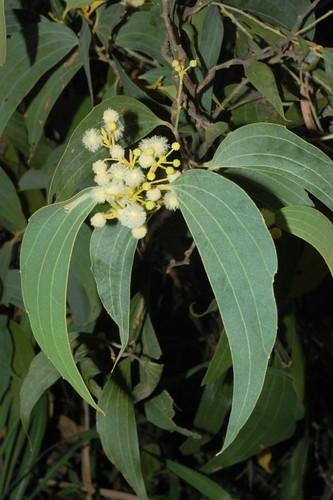 Acacia flavescens