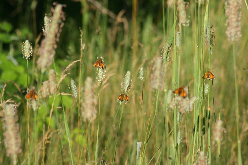 European Skippers on Timothy grasses