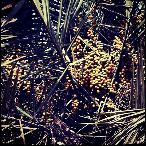 Season of date palm tree