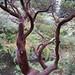 Arctostaphylos regis-montana
