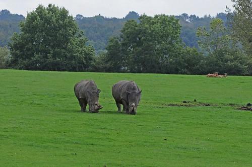 Breitmaulnashörner  im Tierpark CERZA bei Lisieux in der Normandie