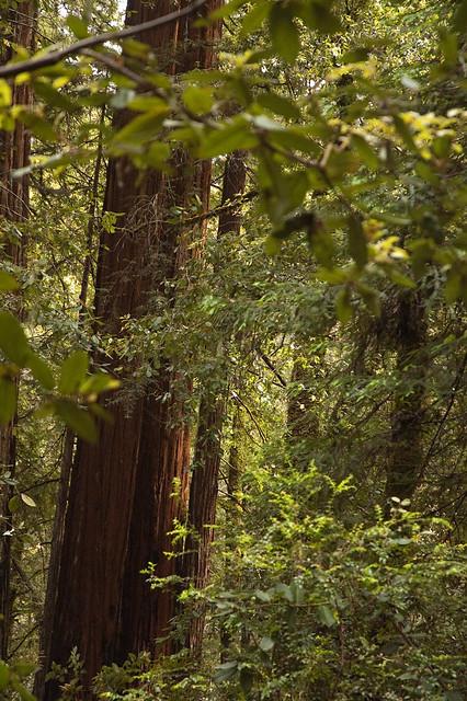 Big Basin Middle of Redwood Trees